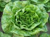 Ricetta Minestra di insalata lattuga